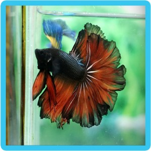 Where to buy stunning betta splendens page 2 reptile for Where to buy betta fish
