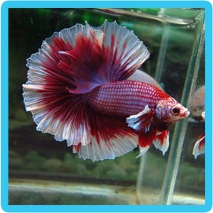 buy betta fish uk