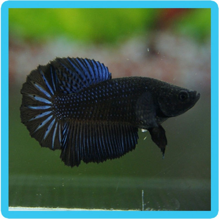 Hm Female Betta
